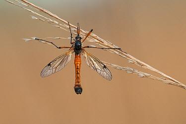 Crane fly (Ctenophora atrata) at rest on stem of grass, Brasschaat, Belgium, May  -  Bernard Castelein/ npl