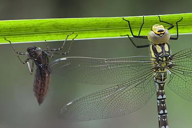 Southern Hawker Dragonfly (Aeshna cyanea) newly emerged from exuvia (behind) Brasschaat, Belgium  -  Bernard Castelein/ npl