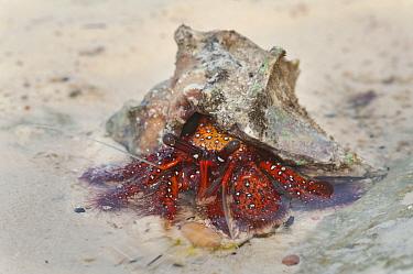 Red Hermit Crab (Dardanus megistos) with shell, in shallow water, Kizimkazi, Zanzibar, Tanzania  -  Bernard Castelein/ npl