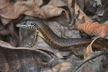 Striped Skink (Mabuya striata) crawling in leaf litter, Jozani Chwaka Bay NP, Zanzibar, Tanzania  -  Bernard Castelein/ npl