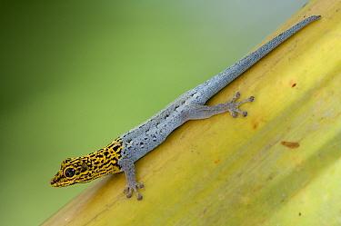 Yellow-headed Dwarf Gecko (Lygodactylus luteo picturatus) portrait on leaf, Kizimkazi, Zanzibar, Tanzania  -  Bernard Castelein/ npl