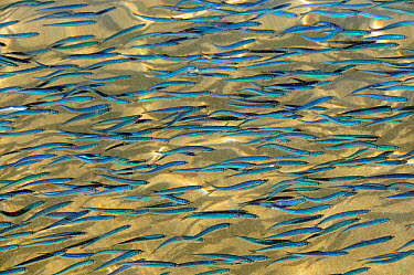 Shoaling young sardines (Sardina pilchardus) swimming in shallow water in a sandy bay, casting shadows on the seafloor, viewed from above water Eastern Lesbos, Lesvos, Greece, August  -  Nick Upton/ npl