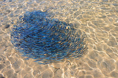 Shoal of young sardines (Sardina pilchardus) circling in a tight formation in shallow water in a sandy bay, viewed from above water Eastern Lesbos, Lesvos, Greece, August  -  Nick Upton/ npl