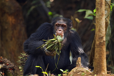 Western chimpanzee, male 'Tua' aged 53 years curious about a 'head support' used by villagers to carry heavy items made from palm leaves (Pan troglodytes verus) Bossou Forest, Mont Nimba, Guinea Jan 2...  -  Fiona Rogers/ npl