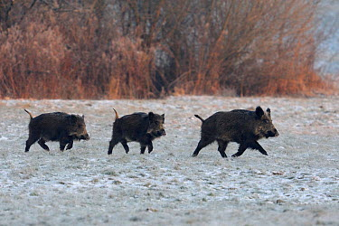 Three wild Boar (Sus scrofa) crossing snow covered field, Vosges, France, January  -  Fabrice Cahez/ npl