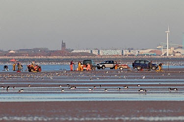 People picking Cockles (Cerastroderma edule, Rudicardium tubercalatum) in Liverpool Bay surrounded by wader flocks and gulls Mouth of River Mersey in background, Liverpool, UK, November 2010  -  Alan Williams/ npl