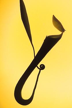 Silhouette of Aerial pitcher plant (Nepenthes gracilis) in Heath, Kerangas forest, Bako NP, Borneo, Sarawak, Malaysia  -  Jouan & Rius/ npl