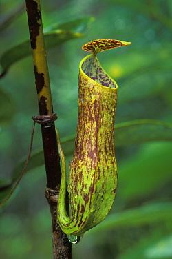 Aerial pitcher plant (Nepenthes gracilis) in Heath, Kerangas forest, Bako NP, Borneo, Sarawak, Malaysia  -  Jouan & Rius/ npl