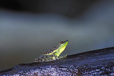Black spotted rock frog (Staurois natator) Gunung Gading NP, Borneo, Sarawak, Malaysia  -  Jouan & Rius/ npl
