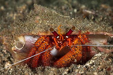 Hermit crab (Dardanus megistos) on sandy bottom Lembeh Strait, North Sulawesi, Indonesia  -  Jurgen Freund/ npl