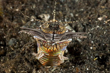 Bobbit worm (Eunice aphroditois) emerging from seabed, Lembeh Strait, North Sulawesi, Indonesia  -  Jurgen Freund/ npl