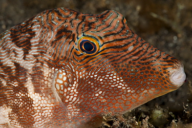 Toby pufferfish (Canthigaster sp), close-up of the head Lembeh Strait, North Sulawesi, Indonesia  -  Jurgen Freund/ npl