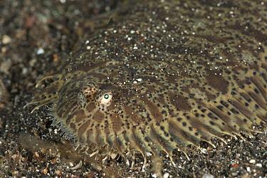 Carpet sole (Liachirus melanospilus) camouflaged on seabed, Lembeh Strait, North Sulawesi, Indonesia  -  Jurgen Freund/ npl