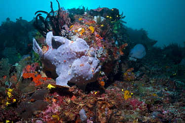 Giant Frogfish (Antennarius commersoni) on coral reef The animal can vary greatly in colour and pattern Bali, Indonesia, December  -  Georgette Douwma/ npl