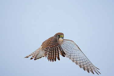Common Kestrel (Falco tinnunculus) female in flight Germany, January  -  Dietmar Nill/ npl
