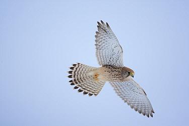 Common Kestrel (Falco tinnunculus) female in hovering flight Germany, January  -  Dietmar Nill/ npl