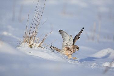 Common Kestrel (Falco tinnunculus) female landing in snow Germany, January  -  Dietmar Nill/ npl