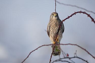 Common Kestrel (Falco tinnunculus) female perching on thorn Germany, January  -  Dietmar Nill/ npl