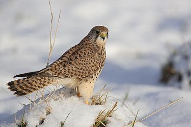 Common Kestrel (Falco tinnunculus) female standing in snow Germany, January  -  Dietmar Nill/ npl