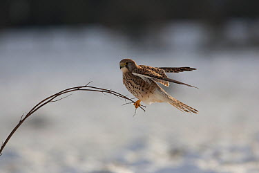 Common Kestrel (Falco tinnunculus) female perching on small twig Germany, January  -  Dietmar Nill/ npl