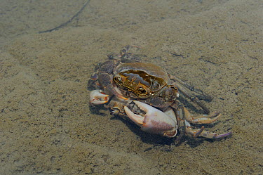 Freshwater Crabs (Potamon fluviatile) mating Foreste Casentinesi National Park, Italy, August  -  Fabio Liverani/ npl
