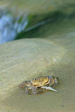 Freshwater Crab (Potamon fluviatile) with small fish (Squalus cephalus) prey Foreste Casentinesi National Park, Italy, September  -  Fabio Liverani/ npl