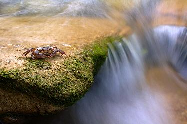 Freshwater Crab (Potamon fluviatile) by a stream Foreste Casentinesi National Park, Italy, July  -  Fabio Liverani/ npl