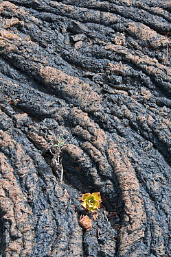 Aeonium growing on rope lava formation Lanzarote, Canary Islands, July  -  Adrian Davies/ npl