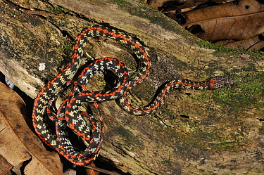 Checkerbelly (Siphlophis cervinus) in a coiled posture Controlled conditions French Guyana, August  -  Daniel Heuclin/ npl