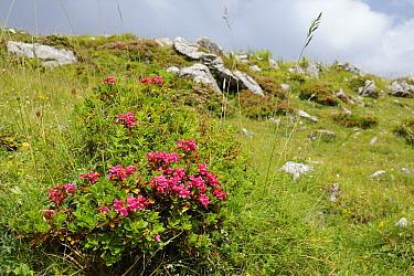 Hairy alpine rose (Rhododendron hirsutum) clumps growing among limestone boulders, Velika Planina plateau, Kamnik-Savinja Alps, Slovenia, July  -  Nick Upton/ npl