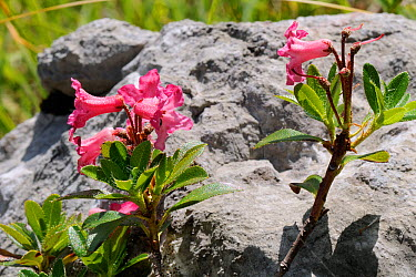 Hairy alpine rose (Rhododendron hirsutum) flowers growing by limestone boulder, Triglav National Park, Slovenia, July  -  Nick Upton/ npl