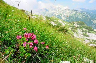 Hairy alpine rose (Rhododendron hirsutum) clump growing on karst limestone mountainside at 1800m near Mount Vogel, with several c2000m high peaks of the Julian Alps in the background, Triglav National...  -  Nick Upton/ npl