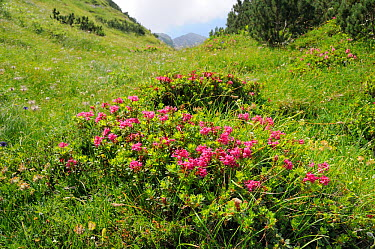 Hairy alpine rose (Rhododendron hirsutum) clumps growing in a grassy gulley below Dwarf pine (Pinus mugo) trees at 1650m on karst limestone mountainside, Julian Alps, Triglav National Park, Slovenia,...  -  Nick Upton/ npl