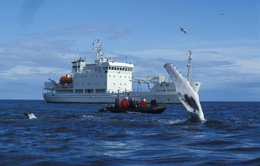 Humpback Whale (Megaptera novaeangliae) fluking, watched by tourists in a zodiac and small cruise ship Grigoriy Mikheev Lautrabjarg, West Iceland, 2003  -  Troels Jacobsen/ npl