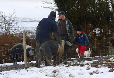 Organically reared saddleback sow, Domestic pig (Sus scrofa domestica) in winter with farmers, Gwynedd, North Wales, UK, February 2009  -  David Woodfall/ npl