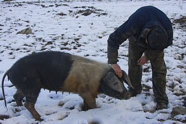 Organically reared saddleback sow, domestic pig (Sus scrofa domestica) being checked by farmer in winter, Gwynedd, North Wales, UK  -  David Woodfall/ npl