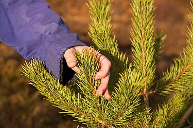 Person checking health of Scot's pine tree (Pinus sylvestris) sapling, Little Assynt Estate, near Lochinver, Assynt, Sutherland, NW Scotland, UK, January 2011, Model released  -  Mark Hamblin/ 2020V/ npl