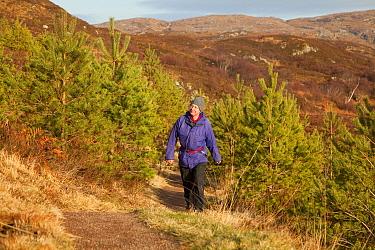 Man walking along footpath through young Scots pine trees, Little Assynt Estate, near Lochinver, Assynt, Sutherland, NW Scotland, UK, January 2011, Model released  -  Mark Hamblin/ 2020V/ npl