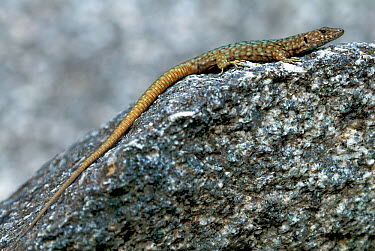 Bedriaga's Rock Lizard (Archaeolacerta bedriagae) basking on rock Corsica, the Mediterranean, August  -  Bert Willaert/ npl