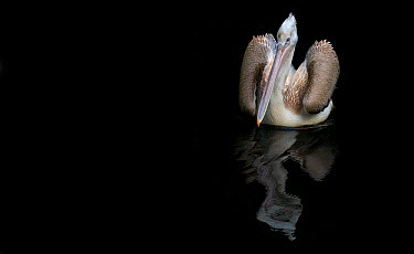 Pink backed pelican (Pelecanus rufescens) with wings slightly open on water, captive  -  Edwin Giesbers/ npl