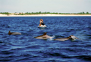 Jet skiers watching Bottlenose dolphins (Tursiops truncatus) porpoising, Sado Estuary, Portugal  -  Pedro Narra/ npl