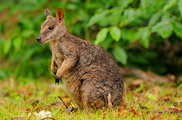 Allied rock-wallaby (Petrogale assimilis) male, Queensland, Australia  -  Dave Watts/ npl