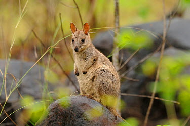 Allied rock-wallaby (Petrogale assimilis) joey on rock, Queensland, Australia  -  Dave Watts/ npl