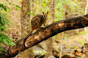Allied rock-wallaby (Petrogale assimilis) climbing on tree stump, Queensland, Australia  -  Dave Watts/ npl