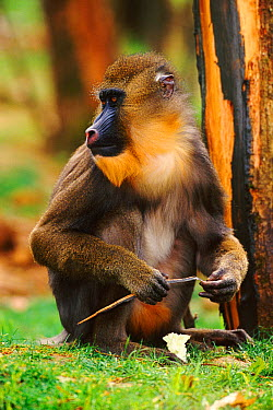Mandrill (Papio sphinx) female cleaning fingernails with stick, Captive  -  Dave Watts/ npl