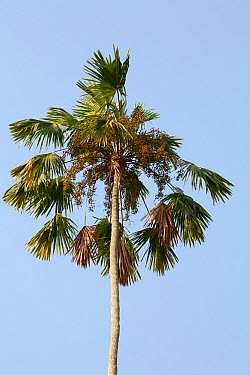 Areca nut palm (Areca catechu), the areca nut is popularly chewed in Asia  -  Simon Colmer/ npl