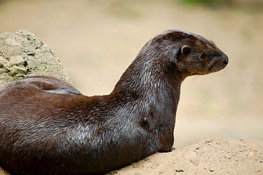 Spotted-necked otter (Lutra, Hydrictis maculicollis) from sub-saharan Africa, Captive  -  Simon Colmer/ npl