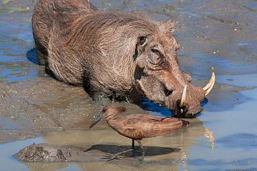 Warthog (Phacochoerus aethiopicus) drinking at waterhole with Hamerkop (Scopus unmbretta) Mkhuze Game Reserve, South Africa, May  -  Ann & Steve Toon/ npl