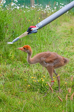Common, Eurasian crane chick (Grus grus) being fed with artifical feeder, Great Crane captive breeding and reintroduction project, Wildfowl and Wetlands Trust, Slimbridge, Gloucestershire, UK, May 201...  -  Ann & Steve Toon/ npl
