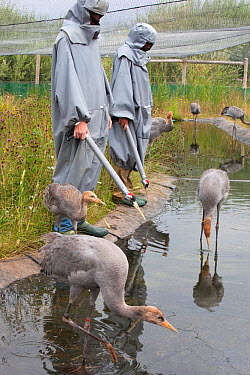 Common, Eurasian cranes (Grus grus) immature birds being taught to fed by researchers performing the role of 'crane mother', Great Crane captive breeding and reintroduction project, Wildfowl and Wetla...  -  Ann & Steve Toon/ npl